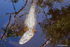 Rainer_Hergenroether_Alligator-in-Florida