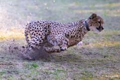 Carsten_Heinelt_Cheetah_Run
