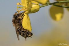 Biene bei Rapsblüte