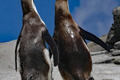 2 Pinguine auf einem Felsen, die sichtlich im Gleichschritt unterwegs sind. Man könnte sie für Saufkumpanen halten
