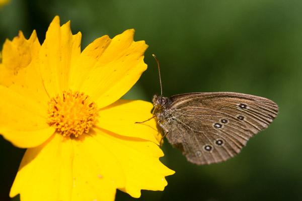 Tanz auf der Blüte